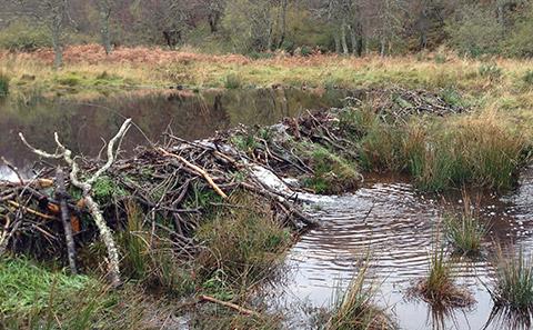 Beaver dam in Scotland